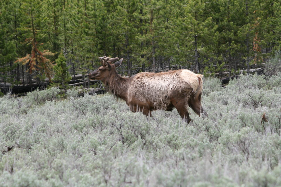 bull elk Yellowstone National Park